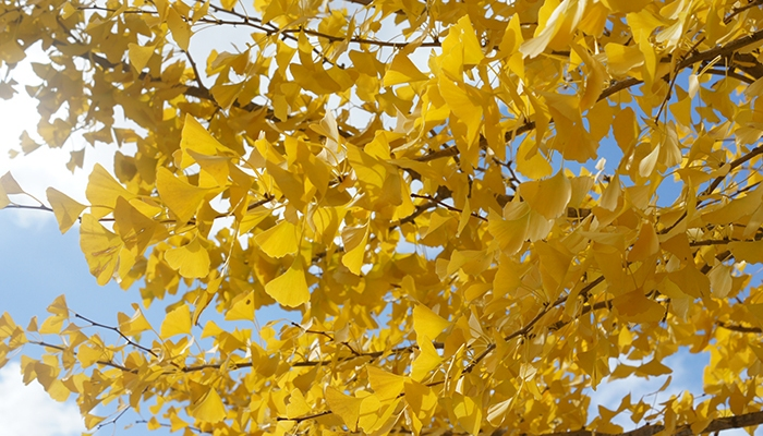 Autumn colours in Japan: Ginko leaves