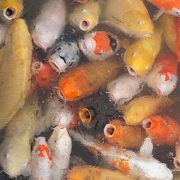 Fish in zen gardens